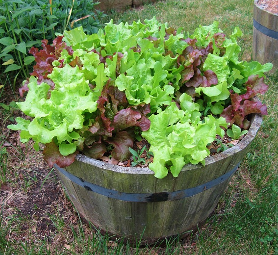 potted_plant_lettuce